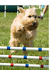 Wheaten jumping